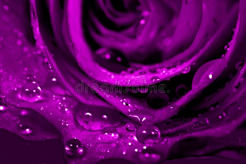 Ultra vilet roses with dew drops. Detail of beautiful rose ultra violet color with dew drops on leaves stock images