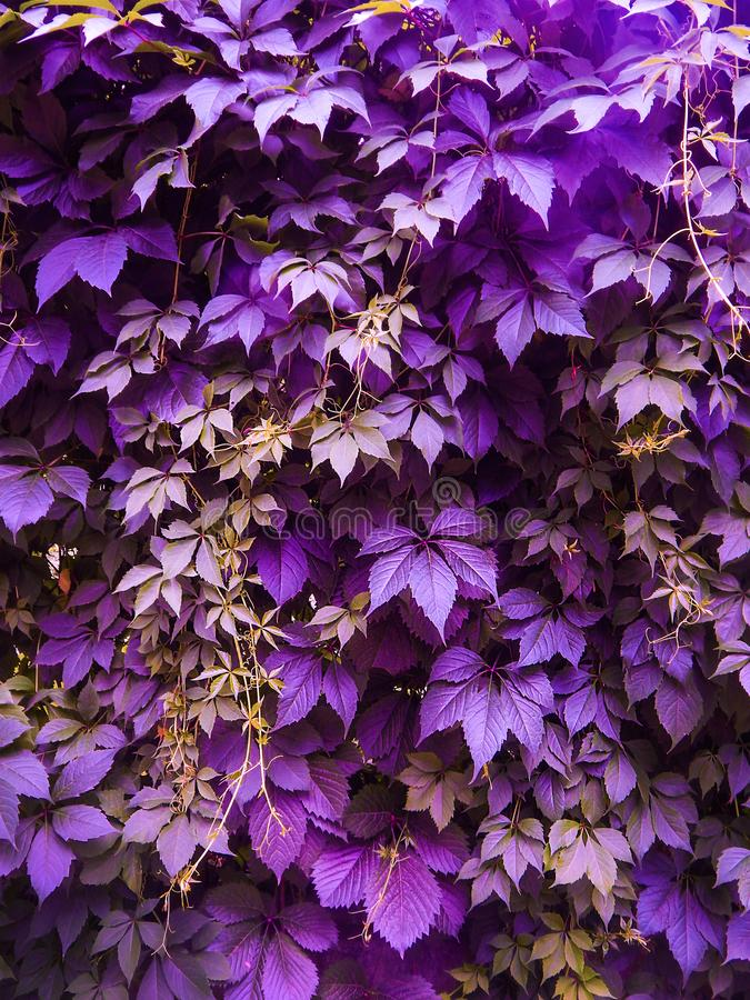 Free Ultra Violet Grape Leaves Stock Photography - 113320482
