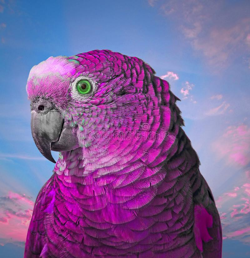 Ultra violet pretty boy parrot. Photo of pepe the parrot looking rather pleased with himself in his ultra violet feathers