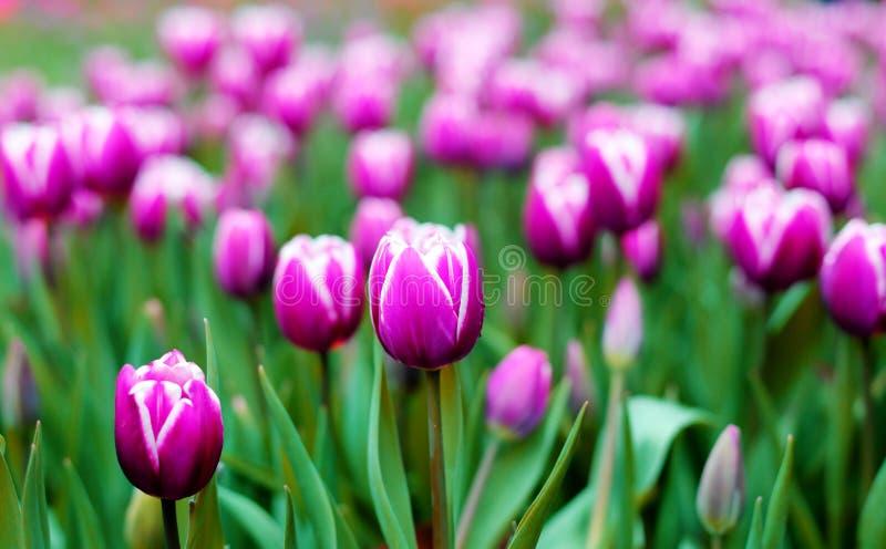 Ultra violet tulips, srgb image stock photo