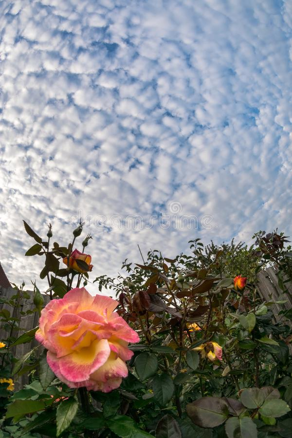 Colorful rose with a sky full of sheep clouds stock image