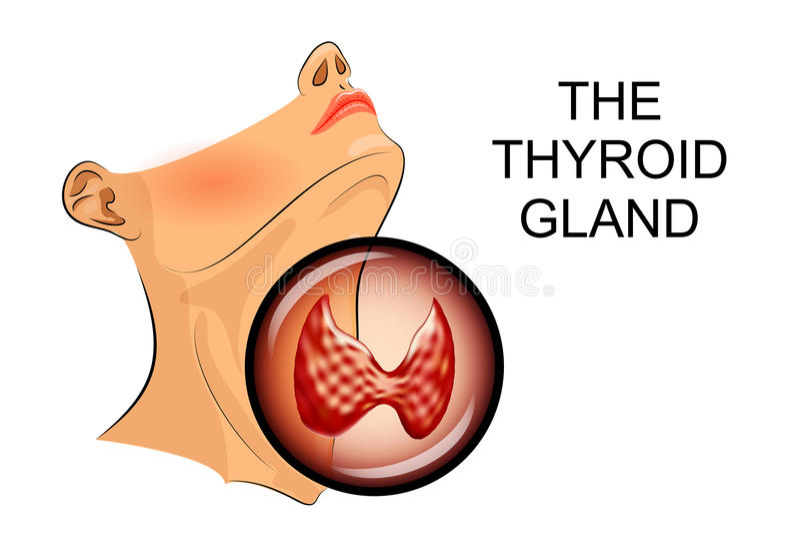 Ultrasound diagnostics of thyroid vector illustration