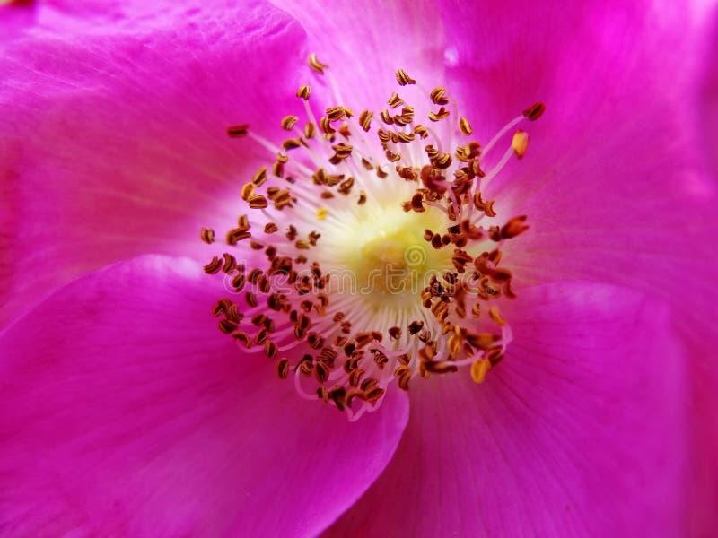 Ultravioleta foto macra de una flor púrpura del canina color de rosa salvaje de Rosa con el estambre amarillo con polen fotografía de archivo