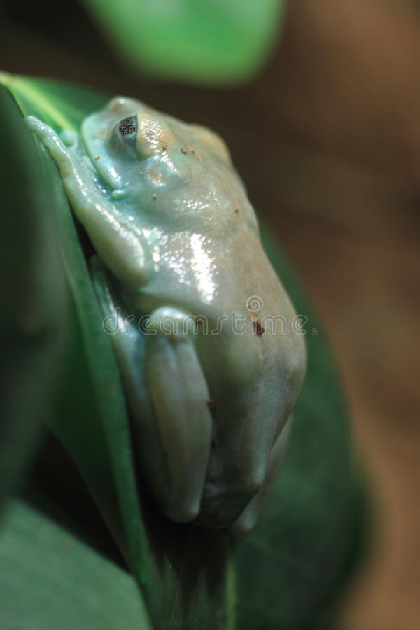 Uluguru Forest Tree Frog Royalty Free Stock Photos