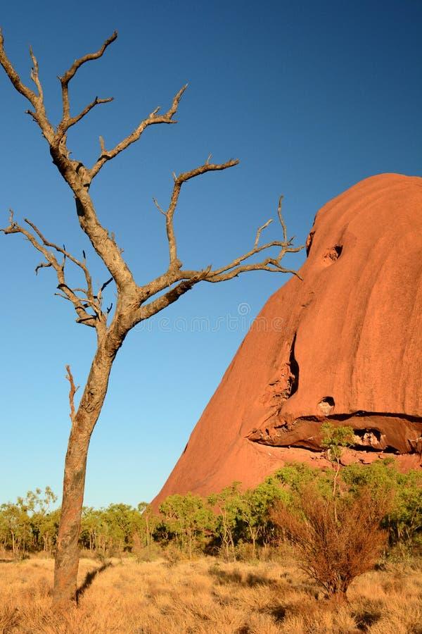 Dead tree in Uluru. Uluru - Kata Tjuta national park. Northern Territory. Australia stock photo