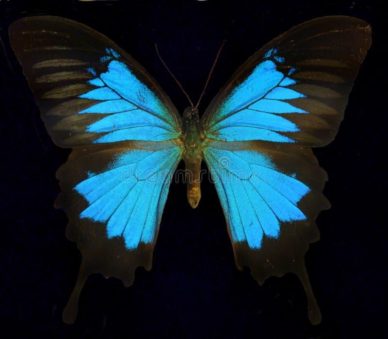 Ulysses, Błękitny Halny motyl/ fotografia royalty free