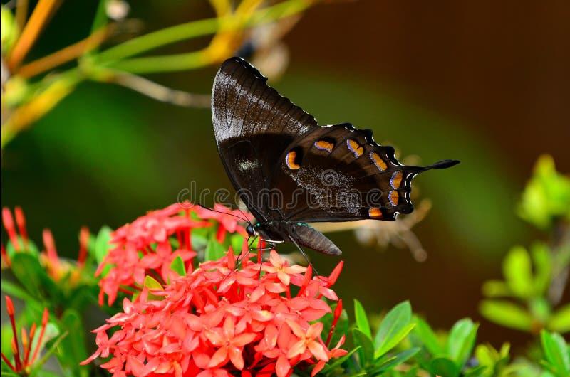 Ulysses Swallowtail napojów motyli nektar od czerwonego kwiatu obrazy royalty free