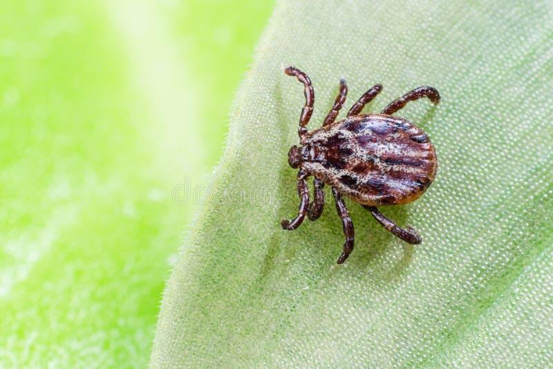 Um ácaro perigoso do portador do parasita e da infecção que senta-se em uma folha verde foto de stock