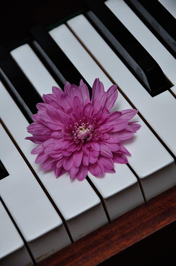 Um áster cor-de-rosa indicado sobre chaves do piano imagens de stock