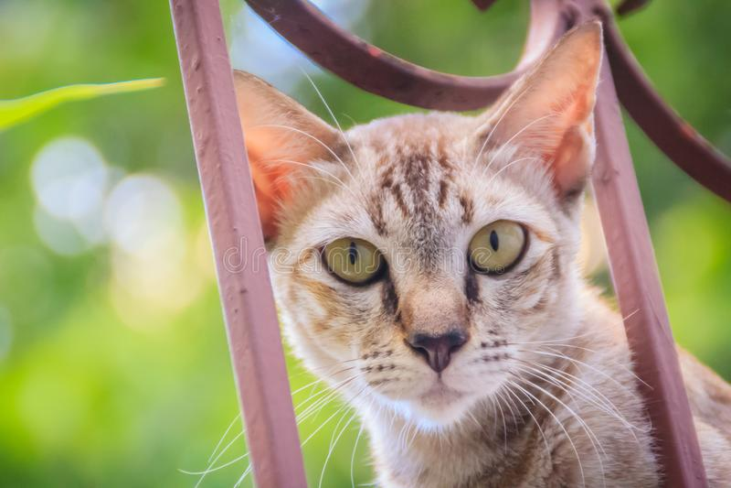 Um íon disperso desabrigado abandonado do gato a parede e a espera de limite a roubar para o alimento Gato cinzento assustador, d fotos de stock