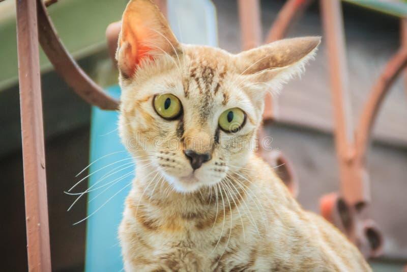 Um íon disperso desabrigado abandonado do gato a parede e a espera de limite a roubar para o alimento Gato cinzento assustador, d fotos de stock royalty free