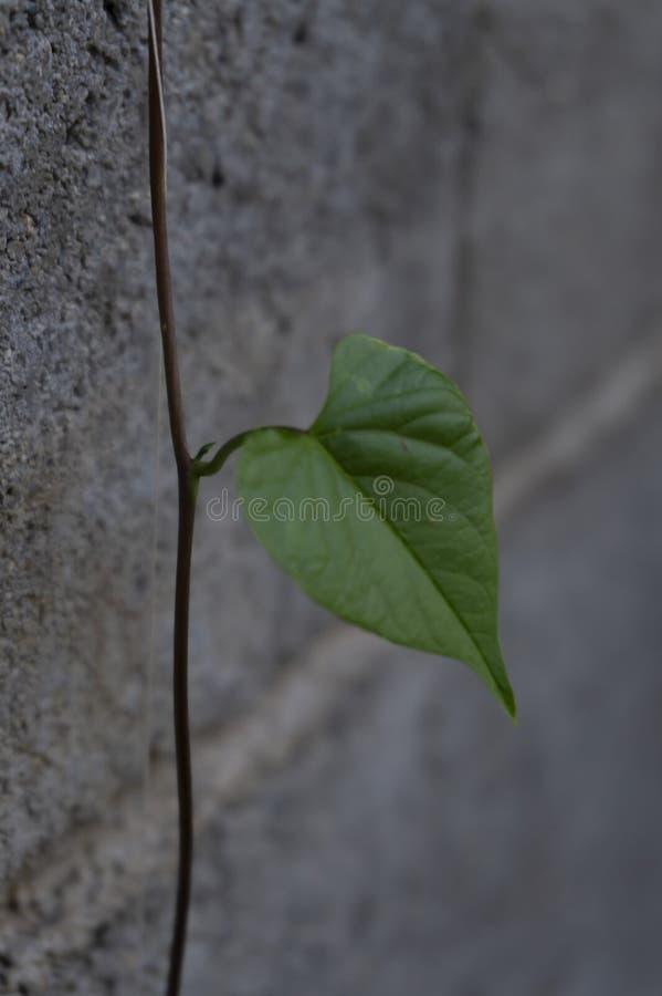Um único coração da folha dado forma com fundo cinzento simples imagem de stock