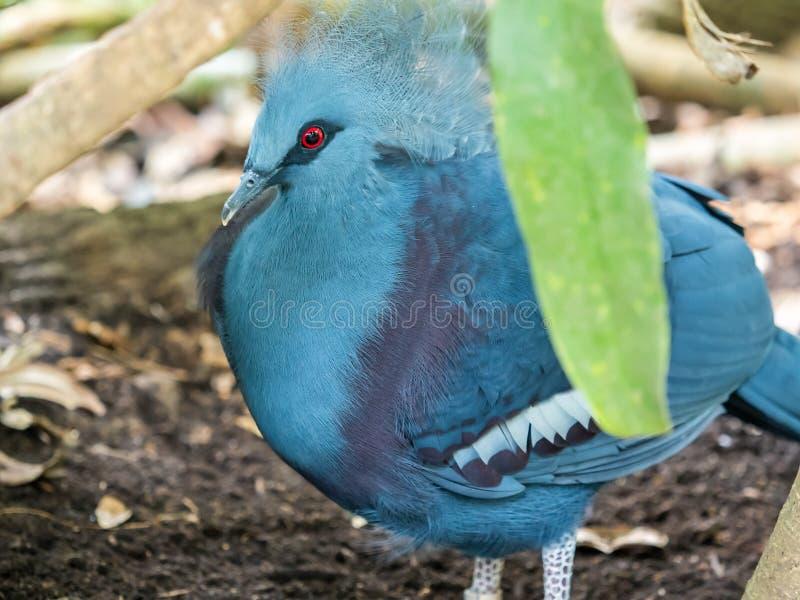 Um único pombo coroado vitoriano que indica sua plumagem da cabeça do ` fotos de stock