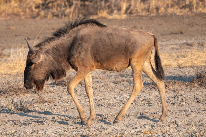 Um único Wildebeest caminhando em Makgadikgadi Pan imagem de stock royalty free