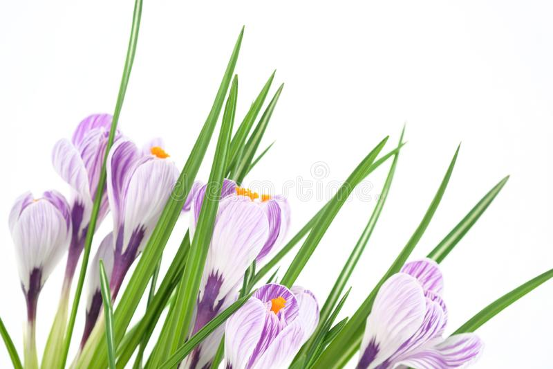 Um açafrão de florescência da planta de potenciômetro, umas flores roxas, umas pétalas e umas folhas verdes Close-up fotos de stock