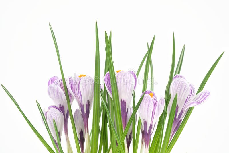 Um açafrão de florescência da planta de potenciômetro, umas flores roxas, umas pétalas e umas folhas verdes Close-up imagem de stock royalty free
