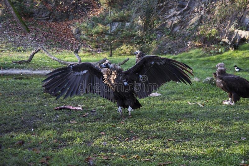 Um abutre de griffon grande com asas abertas foto de stock
