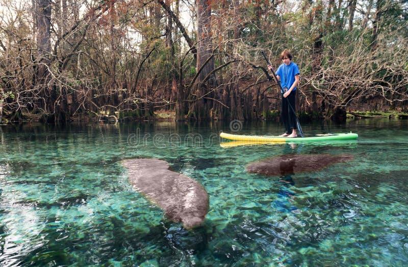Um adolescente no varrão da pá nada entre os peixes-boi Pa do estado fotos de stock