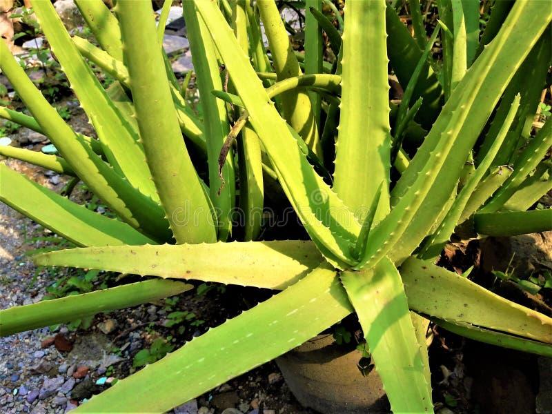 Um aloés verde bonito Vera Plant imagens de stock royalty free