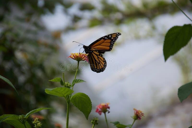 Um amarelo, alaranjado e preto butterfuly com as asas fechados que sorvem sobre uma flor foto de stock