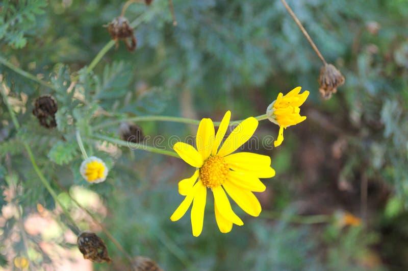 Um amarelo delicado e bonito da flor: camomila fotografia de stock