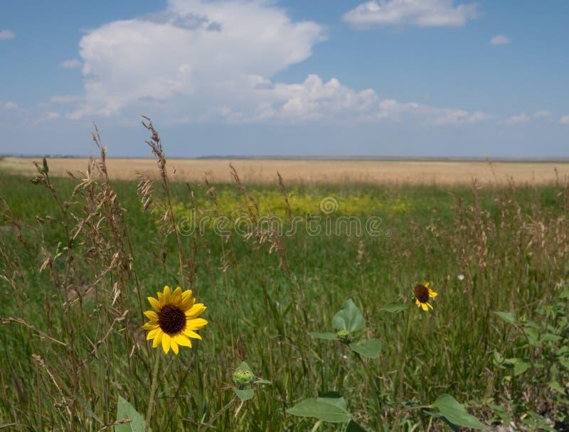 Um amarelo e um girassol de Brown com um campo rural no Backgroun foto de stock royalty free
