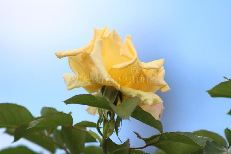 Um amarelo pastel floresceu inteiramente flor cor-de-rosa fotografia de stock