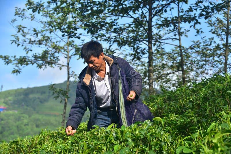 Um ancião que escolhe a folha de chá orgânica do chá do jardim do ilam nepal fotos de stock royalty free