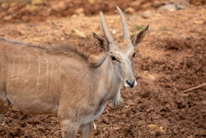 Um antílope, um tipo de mamífero, assemelhando-se a uma cabra O homem e o fêmeas têm os chifres, listras cinzento-amarelas, marro fotos de stock royalty free