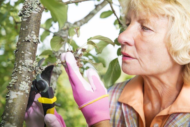 um Apfelbaum im Hinterhof kümmernd, arbeiten Sie im Garten stockfotografie