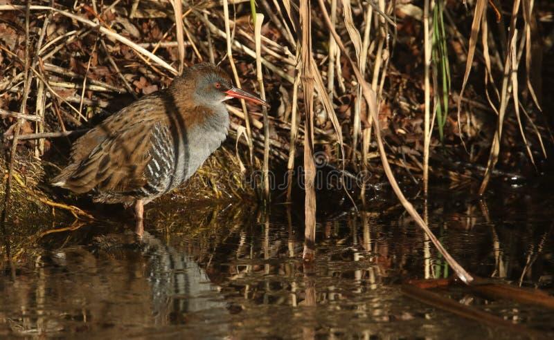 Um aquaticus altamente secreto de Rallus do trilho da água um habitante de pantanais de água doce imagem de stock royalty free