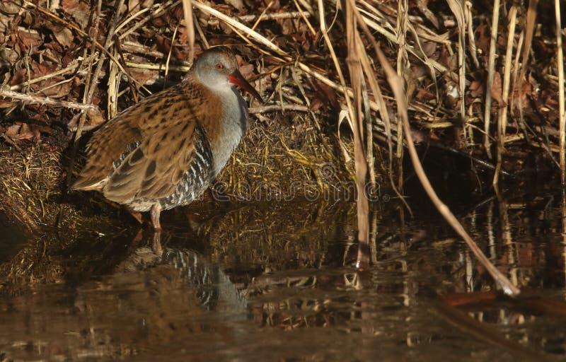 Um aquaticus altamente secreto de Rallus do trilho da água um habitante de pantanais de água doce imagem de stock