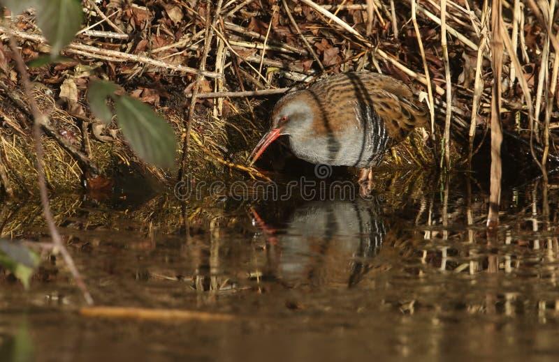 Um aquaticus altamente secreto de Rallus do trilho da água um habitante de pantanais de água doce fotos de stock royalty free