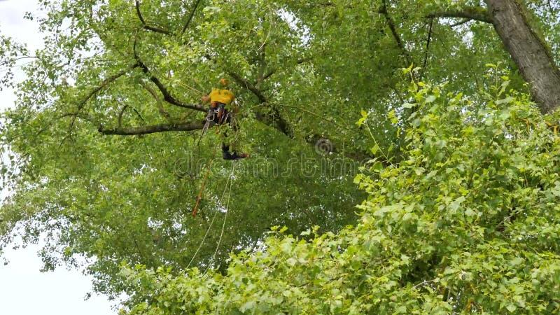 Um arborist que usa uma serra de cadeia para cortar uma árvore de noz, poda da árvore fotografia de stock