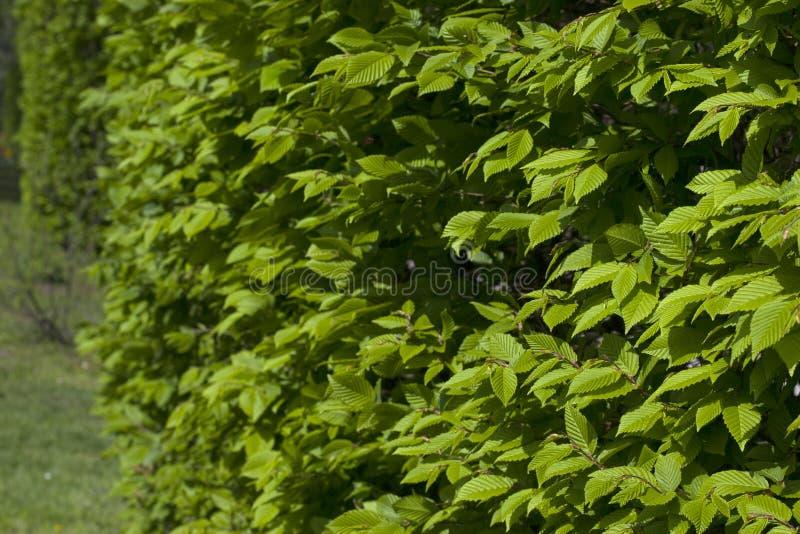Um arbusto com folhas verdes fecha-se acima As folhas verdes fecham-se acima imagens de stock
