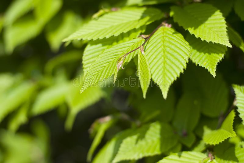 Um arbusto com folhas verdes fecha-se acima Bush verde no parque imagem de stock royalty free