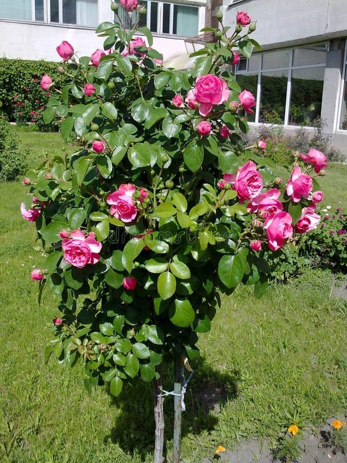 Um arbusto cor-de-rosa foto de stock
