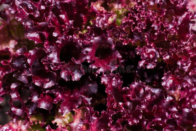 Um arbusto da alface de folha vermelha no jardim do verão imagem de stock royalty free