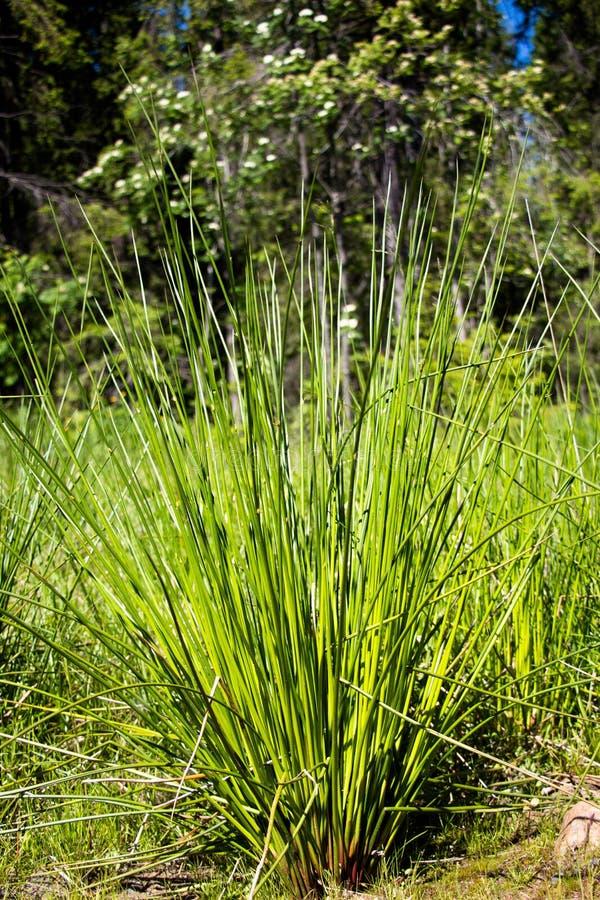 Um arbusto da grande grama na borda da floresta foto de stock