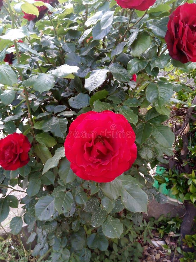 Um arbusto da obscuridade bonita - rosas vermelhas! fotos de stock