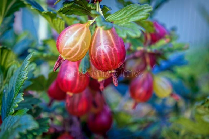 Um arbusto das groselhas com bagas maduras Ramo dos gooseberries fotos de stock