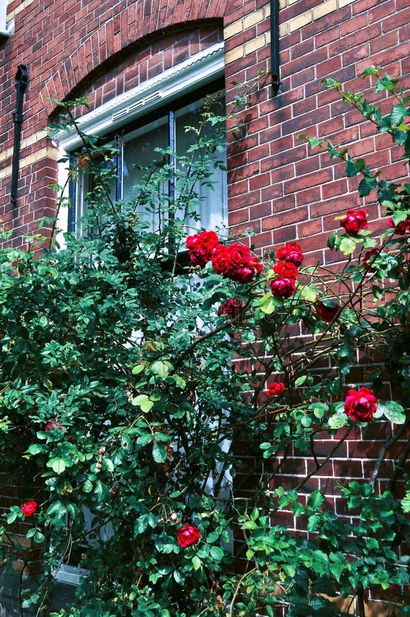 Um arbusto das rosas fotografia de stock