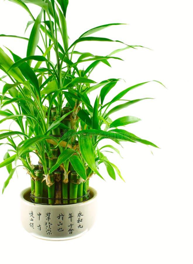 Um arbusto de bambu afortunado em um potenciômetro fotografia de stock royalty free