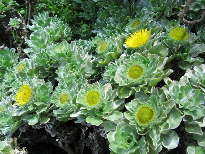 Um arbusto de florescência amarelo foto de stock