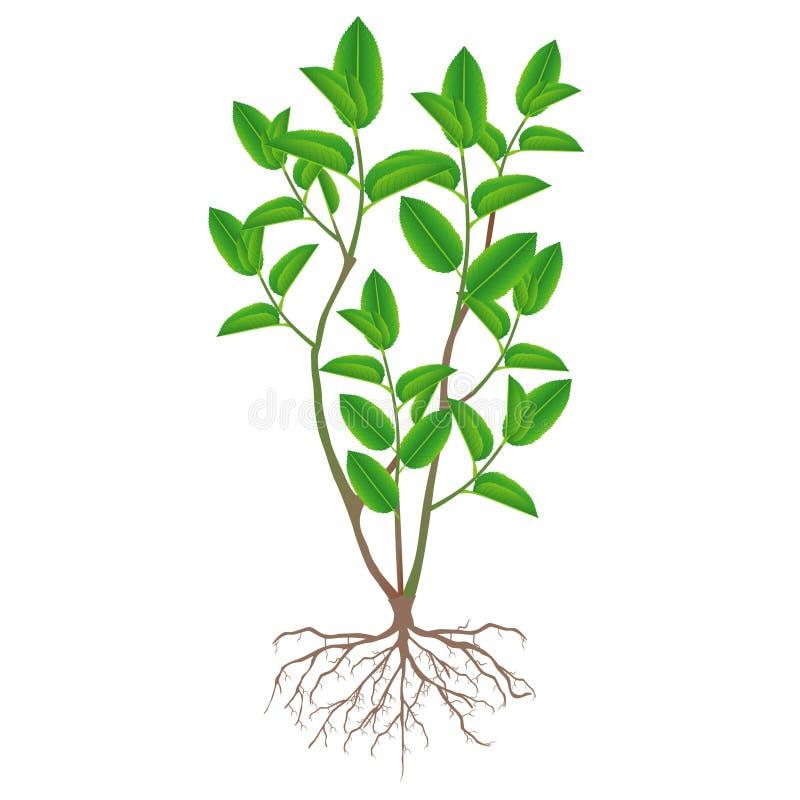 Um arbusto do chá verde com raizes em um fundo branco ilustração do vetor