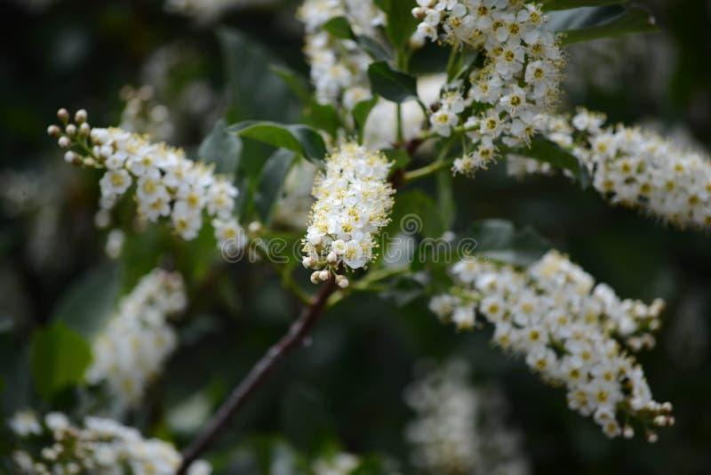 Um arbusto do chokecherry na flor completa com flores brancas fotografia de stock royalty free