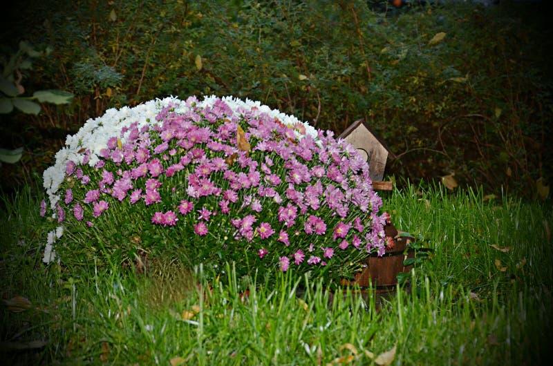 Um arbusto dos crisântemos cor-de-rosa e vermelhos brancos fotos de stock royalty free