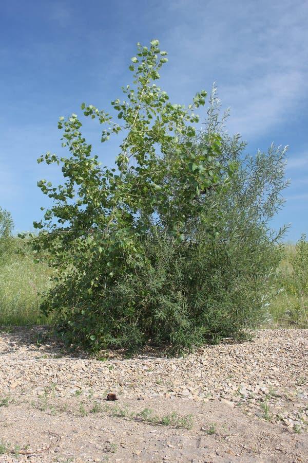 Um arbusto estranho composto das árvores de dois tipos que crescem apenas no solo coberto com as pedras em um dia ensolarado quen fotos de stock