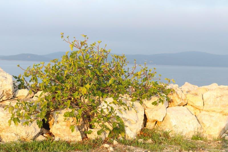 Um arbusto verde do figo que cresce em grandes pedras na perspectiva do mar e das ilhas nos raios macios do sol de aumentação Str imagem de stock