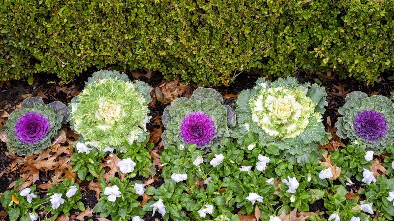 Um arbusto verde, uma fileira de couve ornamental branca e roxa e pequenas plantas verdes e flores brancas em Dallas, Texas imagens de stock royalty free